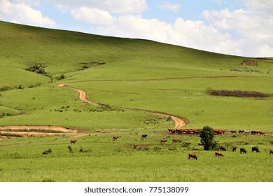 Cattle graze in a lush green field near a dirt road or track in a pristine idyllic setting in rural Africa.