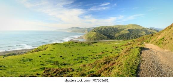 Cattle graze on lush green fields of Lost Coast California