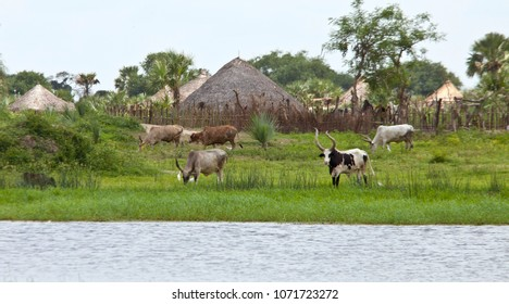 Cattle graze at a village along the Nile River in South Sudan.