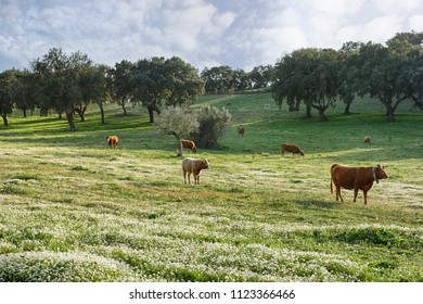 Cattle grazing in the Alentejo plain, south of Portugal.