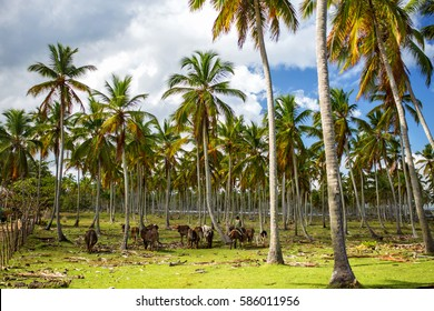 Cattle grazing among the palm trees in the Dominican Republic