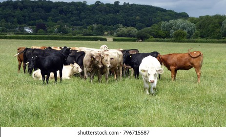 Cattle grazing in an English meadow.