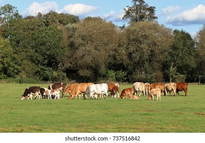 Cattle grazing in an English Meadow in Summer with woodland in the background with calves and Prize Bull