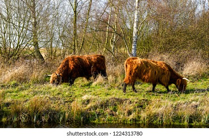 Cattle grazing grass. Cattle cows grazing. Cattle at river shore grazing. Cattle grazing scene
