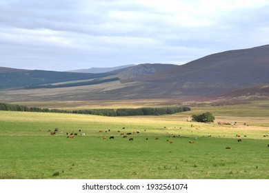 Cattle grazing .Ladder Hill, Braes of Glenlivet,Grampians. Scotland