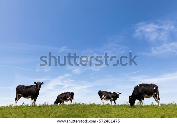 Cattle grazing in a lush green field in the daytime