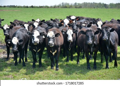 Cattle grazing on a farm.
