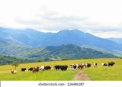 Cattle grazing on a green field near Salta, Argentina