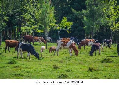 cattle grazing on green grassland