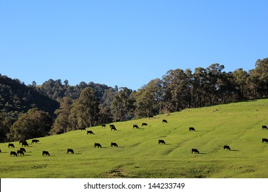 Cattle grazing on the green slopes of the Collie River Valley  Western Australia on a fine afternoon in early winter.