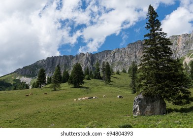 Cattle grazing on an idyllic mountain pasture