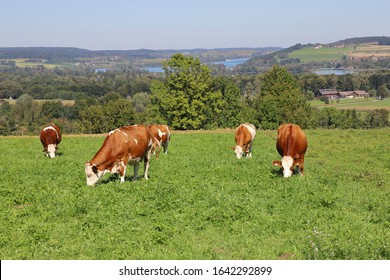 Cattle grazing on a meadow at Waginger See