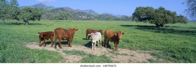 Cattle grazing on a pasture in Santa Ynez Valley, California