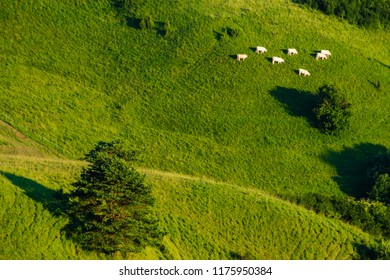cattle grazing on the slopes of mountains in Slovakia
