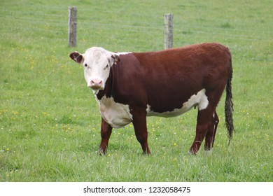 cattle grazing in the paddocks