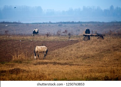 Cattle grazing in pasture next to the cart. Uzbekistan, Central Asia