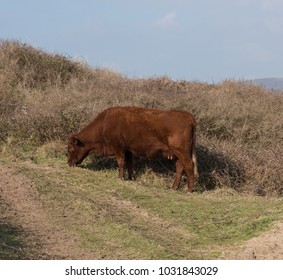 Cattle Grazing in the Sand Dunes at Braunton Burrows by the Atlantic Ocean on the Coast in North Devon, England, UK