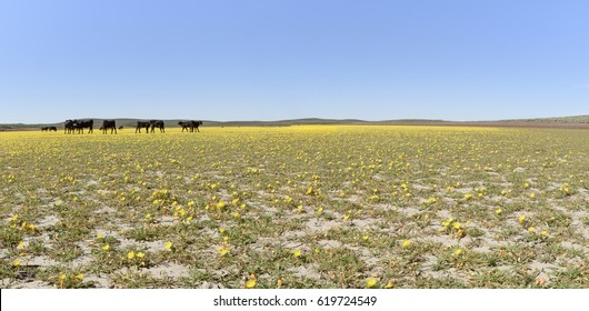 Cattle Grazing Tansy-Leaf Evening Primrose at Cow Lakes, Malheur County, South Eastern Oregon