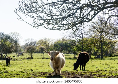 Cattle in a green pastureland in Horns Kungsgards nature reserve at the swedish island Oland