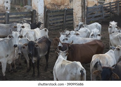 cattle herd in the corral