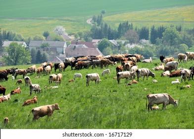 cattle herd in Czech republic