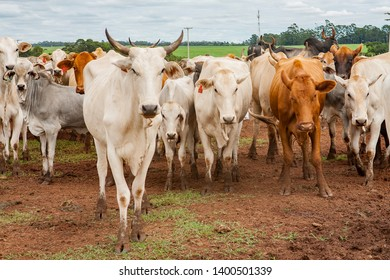 Cattle herd on farm in Brasil