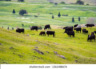 Cattle herd on a pasture up in the hills; south San Francisco bay, San Jose, California