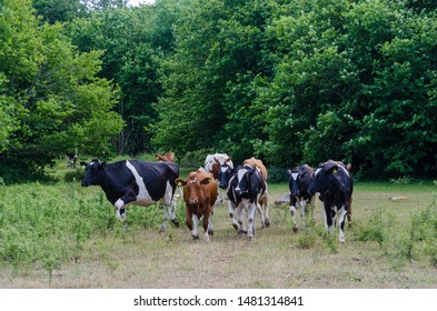 Cattle herd are running in a forest glade at the island Oland in Sweden