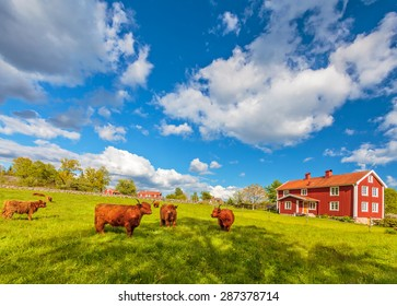Cattle with highland cows in front of typical old wooden farm houses in Smaland, Sweden