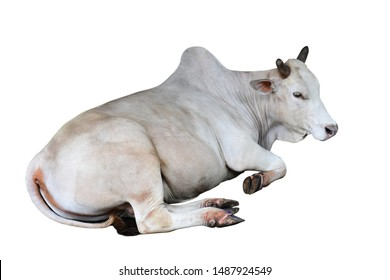 The cattle isolated on white background with clipping path