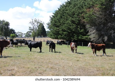 cattle just standing around