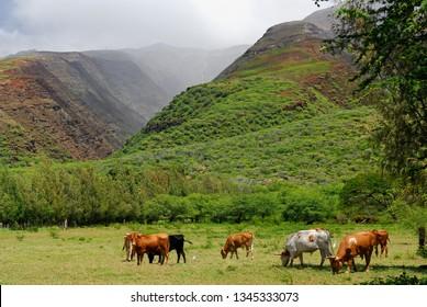 Cattle at Kamalo wharf with Kamalo Gulch on Molokai
