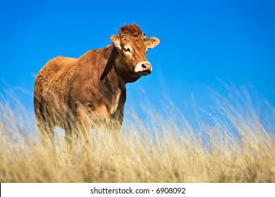 Cattle. Limousin bull in french highlands (Aubrac)