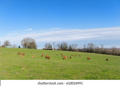 Cattle Limousin cows in green French landscape
