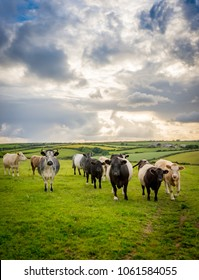 Cattle in luscious green fields of peaceful English countryside with cloudy bright sky in Cornwall, UK