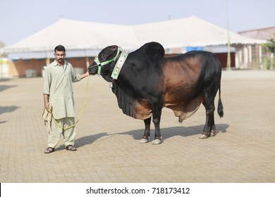 Pakistani Cow Images, Stock Photos & Vectors | Shutterstock