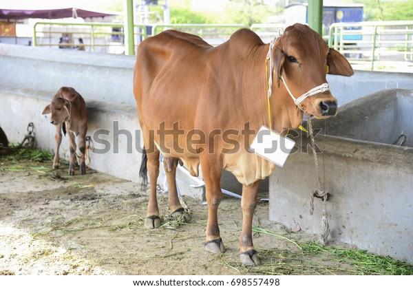 Cattle Market Lahore Pakistan 29 August Stock Photo (Edit