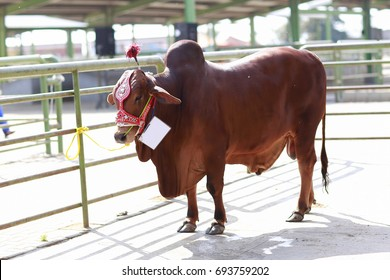 Cattle Market , Lahore, Pakistan : Beautiful brown cow is standing in direct sunlight