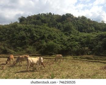 Cattle in meadow