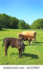 Cattle in a meadow on a summer's morning