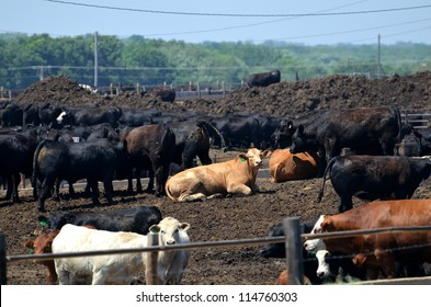 Cattle in Midwest Feedlot