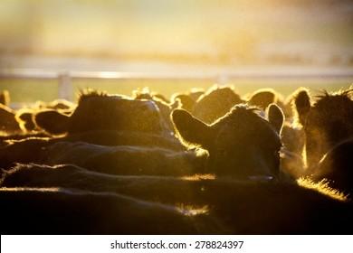 Cattle in morning light