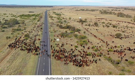 cattle mustering outback Queensland, Australia.