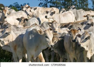 Rind Nellore in Gefangenschaft auf einem Bauernhof in der ländlichen Umgebung von Brasilien. Mastvieh.