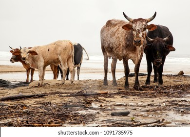 Cattle on a beach, Wild Coast Transkei, South Africa.
