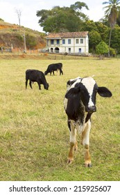 Cattle on the brazilian pasture