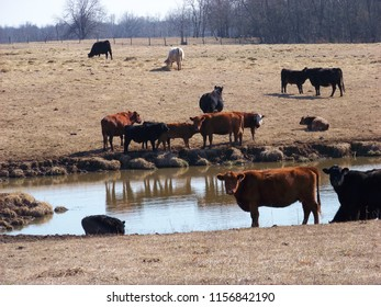 Cattle on the farm.