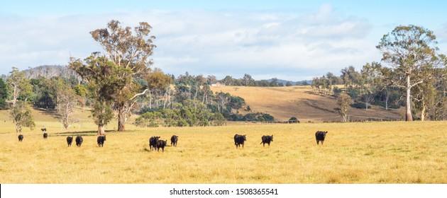 Cattle on a farm in the Tamar Valley in Tasmania, Australia.