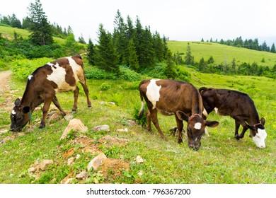 Cattle on a Field Highland Rize, Turkey