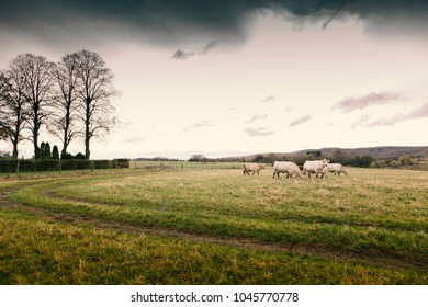 Cattle on field on moody day.